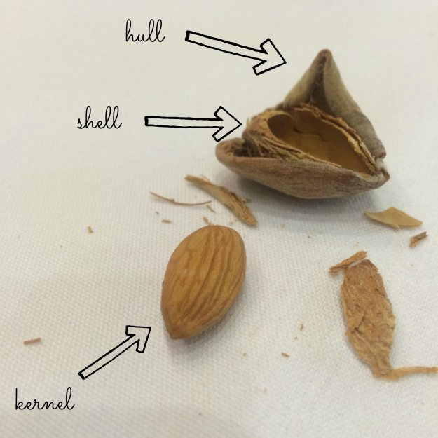 Parts of an almond