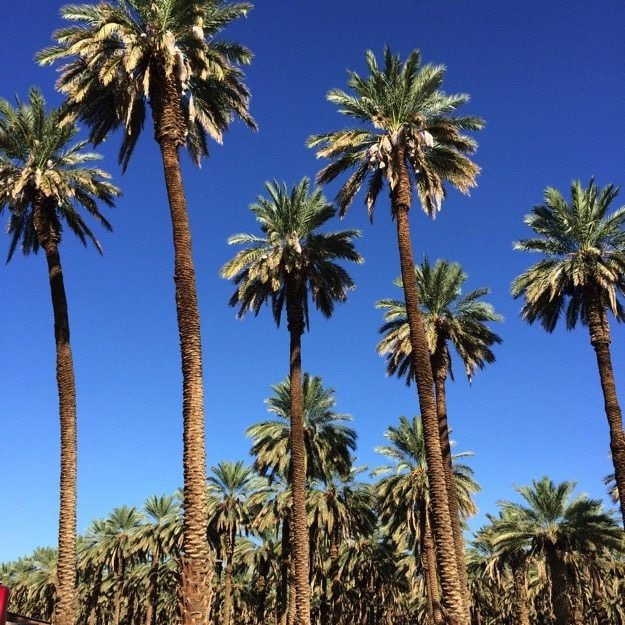 Big Six Date Palms
