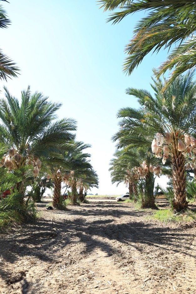 Date palms lining a drive in Yuma Arizona.