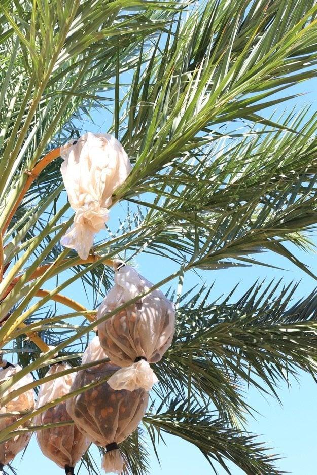 medjool dates how to grow