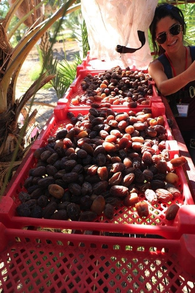 Medjool Date Harvest