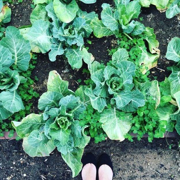 White-House-Garden-Cabbage