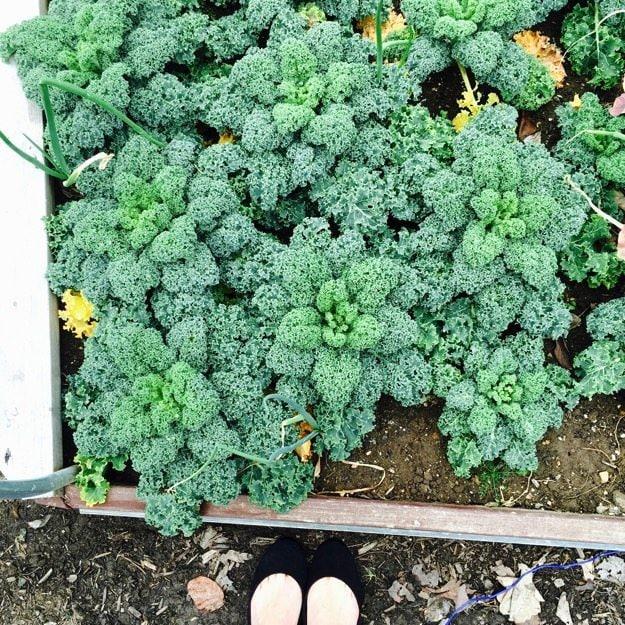 kale-white-house-garden