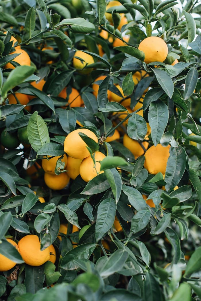 Lemons growing in Califorina