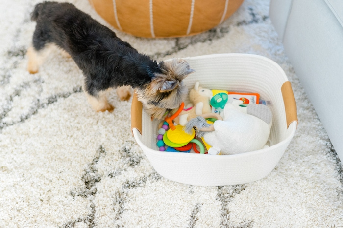 Yorkie looking at a basket of baby toys.